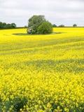 Rape seed Fields Royalty Free Stock Image