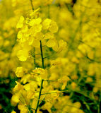 Rape seed flower Royalty Free Stock Image