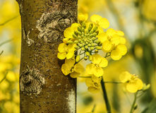 Rape seed flower Stock Photo