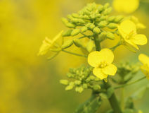 Rape seed flower Stock Images