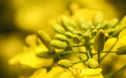 Rape seed flower Stock Image