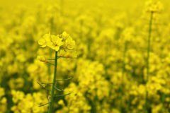 Rape Seed flowers Stock Images