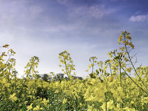 Rape seed flowers Royalty Free Stock Photos