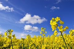 Rape seed flowers in field with blue sky and clouds in summertime Royalty Free Stock Images