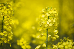 Rape seed Flowers Stock Photo