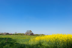 Rape seed in landscape Stock Photography