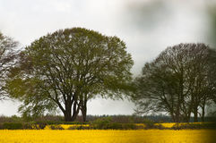 Rape seed oil bio crop grows around trees and hedges Royalty Free Stock Photos