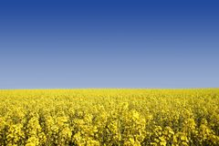 Rape seed on a perfect day Royalty Free Stock Photography