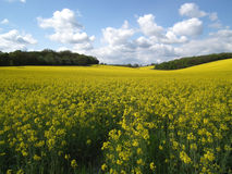Rape seed plants Royalty Free Stock Photography