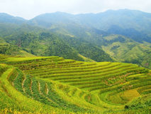 Rape seed terraced fields. In china Royalty Free Stock Photo