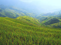 Rape seed terraced fields. In china Royalty Free Stock Photos