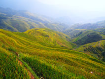 Rape seed terraced fields. In china Stock Images