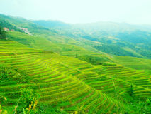 Rape seed terraced fields. In china Royalty Free Stock Images