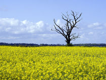 Rape seed & tree Royalty Free Stock Image