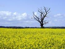 Rape seed & tree. Single tree in a rape seed field Royalty Free Stock Image