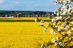 Rape-seed. View from above, with yellow rape seeds fields Stock Photos