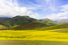 Rape terraced field Royalty Free Stock Photos