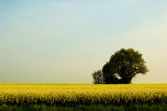 Tree. A green tree in a field of stock images