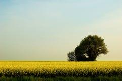 Rape tree. A green tree in a field of rape Stock Images