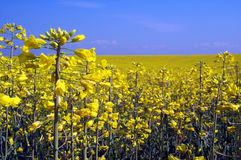 Rape yellow field Stock Photos