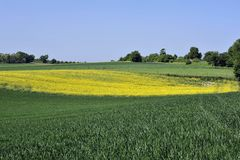 Rape yellow field Royalty Free Stock Photo