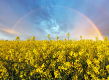 Rape yellow field with rainbow Stock Photos
