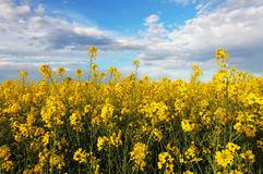 Rape yellow field with sky Stock Photos