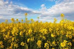 Rape yellow field with sky Stock Photos
