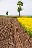 Rape and young shoots of maize. Blossoming rapeseed and arable land with the young shoots of maize Royalty Free Stock Photo