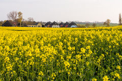 Rapefield Royalty Free Stock Photo