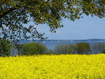 Rapefield at a fjord 2. May at the Flensborg Fjord in Northern Germany Royalty Free Stock Images