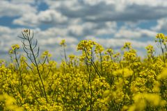 Rapefield jaune images libres de droits