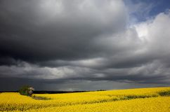 Rapefield under dark clouds. In Denmark Royalty Free Stock Photography