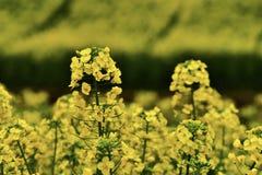 rapeflowers Stock Photos