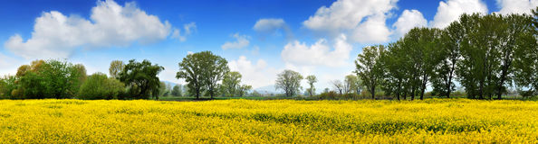 Rapen field and deep blue sky royalty free stock photography