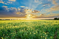 Rapes Field at Sunset Royalty Free Stock Image