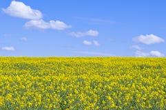 rapeseed śródpolny kolor żółty Zdjęcie Stock