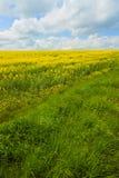 rapeseed горизонта низкий Стоковое Изображение