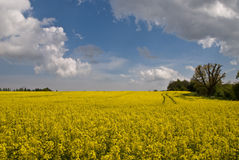 rapeseed масла поля Стоковые Фото