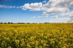 rapeseed масла поля Стоковые Фотографии RF