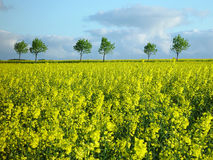 rapeseed поля Стоковое Фото