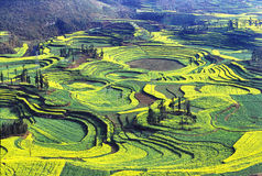 rapeseed поля