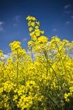 rapeseed поля Стоковые Изображения RF