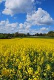 rapeseed поля Стоковые Фотографии RF