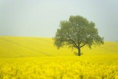 rapeseed утра тумана поля Стоковые Фото