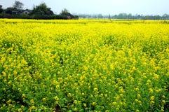 rapeseed цветка поля Стоковая Фотография RF