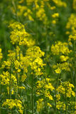 Rapeseed 04 Royalty Free Stock Images