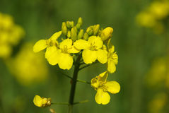 Rapeseed 07 Royalty Free Stock Photos