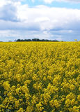 Rapeseed. A rapeseed field Royalty Free Stock Photos