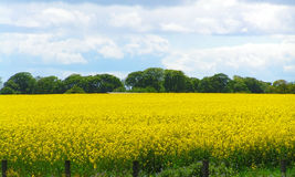 Rapeseed Imagens de Stock Royalty Free